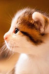 Фотография Коты Вблизи Котята Морды Сбоку Животные