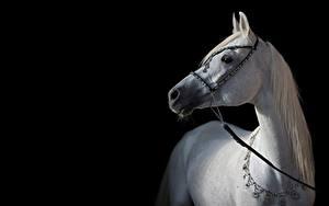 Картинки Лошади Белая Черный фон Arabian Животные