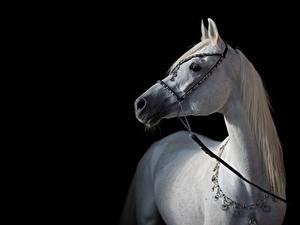 Обои для рабочего стола Лошади Белая Черный фон Arabian Животные