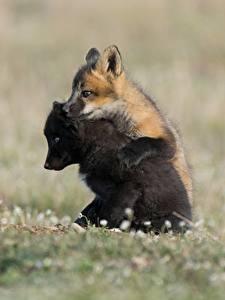Картинка Лисица Детеныши Двое Черный Животные