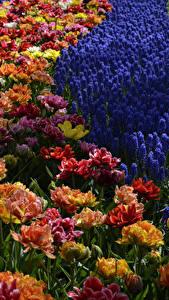 Фотография Нидерланды Парки Тюльпаны Гиацинты Keukenhof Цветы