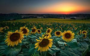 Фотография Подсолнухи Поля Рассвет и закат Цветы