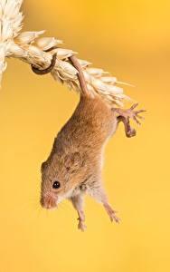 Обои Мыши Вблизи Колосок животное