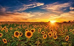 Фотографии Подсолнухи Рассветы и закаты Небо Поля Солнца цветок Природа