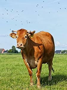 Картинки Коровы Луга Трава С рогами Взгляд Животные