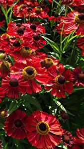 Картинка Много Вблизи Красный Helenium Цветы