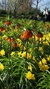 Фотография Голландия Парки Рябчик Нарциссы Много Keukenhof Цветы