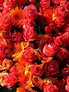 Фотографии Розы Герберы Много Вблизи Красный Цветы
