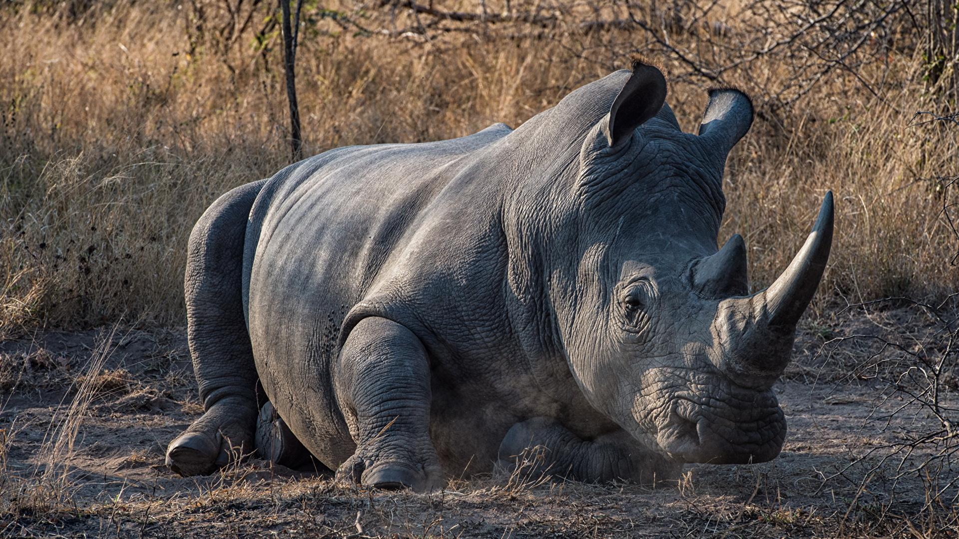 Обои носороги. Животные foto 11
