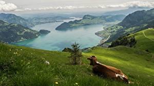 Фотография Горы Луга Корова Пейзаж Швейцария Трава Альпы