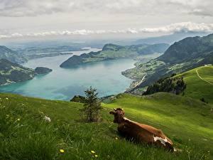 Фотография Горы Луга Корова Пейзаж Швейцария Траве Альпы