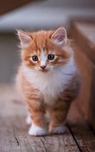 Картинки Кот Котенок Рыжий