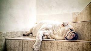 Обои Собаки Лестницы Спит Бульдога Животные