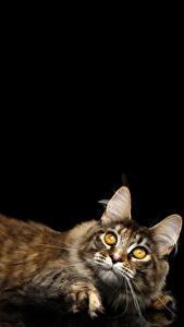 Фотография Кошки Черный фон Взгляд Животные