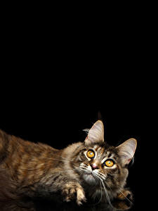 Фотография Кот Черный фон Взгляд животное