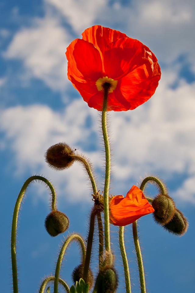 Картинка Красный мак цветок Бутон Крупным планом 640x960 для мобильного телефона красная красные красных Маки Цветы вблизи