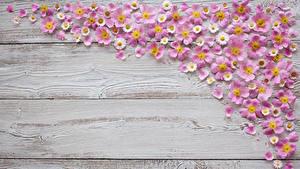 Обои Маргаритка Доски Лепестков цветок