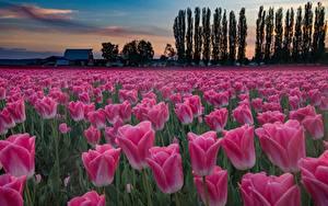 Картинки Тюльпаны Поля Вечер Розовый Цветы