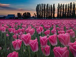 Картинки Тюльпан Поля Вечер Розовый Цветы