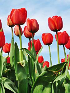 Фотографии Тюльпан Красная цветок