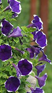 Фотография Петунья Вблизи Фиолетовая Цветы