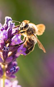 Картинка Вблизи Пчелы Насекомое Боке животное