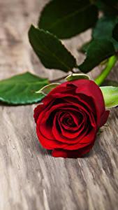 Обои для рабочего стола Роза Красный Цветы