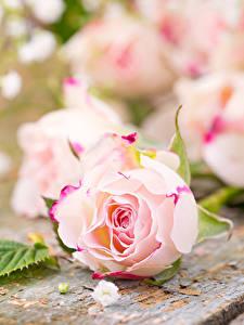 Обои Роза Крупным планом Доски Розовый цветок