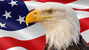 Обои для рабочего стола Птица Орлы Штаты Праздники Голова Флага Клюв Memorial Day Животные