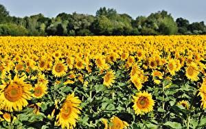 Картинка Поля Подсолнухи Много Желтые Цветы