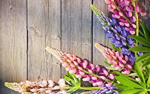 Обои Люпин Доски Цветы