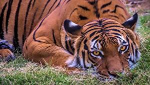 Картинка Тигр Лежа Смотрит животное