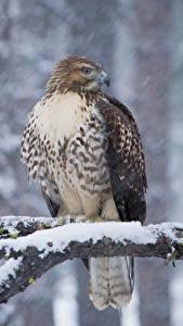 Фотографии Зимние Птицы Ястреб Ветвь Снег Red-tailed hawk Животные