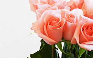 Фото Розы Вблизи Белым фоном Розовая Цветы