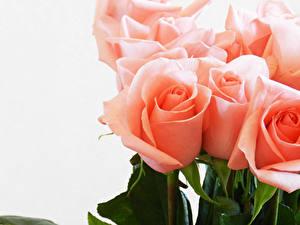 Фото Роза Вблизи Белым фоном Розовая Цветы