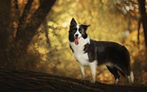 Фотография Собака Язык (анатомия) Бордер-колли животное