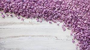 Картинки Сирень Доски Лепестки Цветы