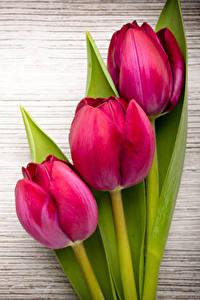 Фото Тюльпаны Крупным планом Доски Трое 3 Красных Цветы