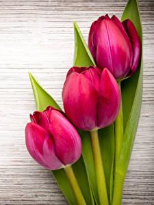 Фото Тюльпан Крупным планом Доски Трое 3 Красных цветок