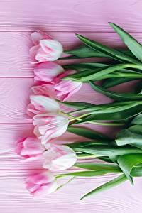 Обои Тюльпаны Розовая Доски Цветы