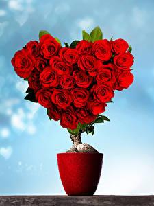 Фотографии День всех влюблённых Розы Дизайн Сердечко Красная Цветы