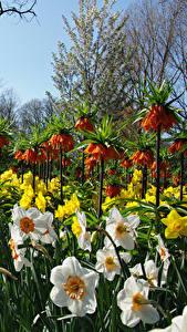 Фотография Нидерланды Парки Нарциссы Рябчик Keukenhof Цветы