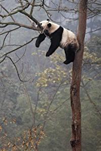 Картинка Панды Ветки Лежит Спит Ствол дерева Животные