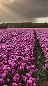 Фотография Тюльпан Поля Много Фиолетовые цветок