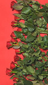 Картинки Роза Много Красных Красном фоне Цветы