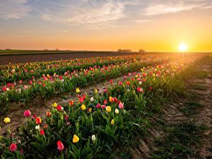 Картинка Бельгия Рассвет и закат Поля Тюльпаны