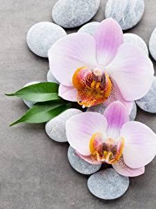 Фотография Орхидеи Камень Серый фон Цветы