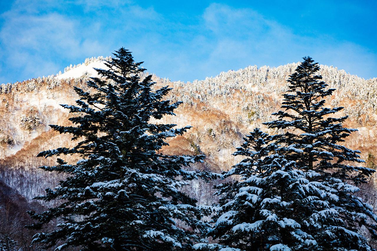 Обои Япония Hirayu Takayama Gifu Ель Горы зимние Природа Снег Зима