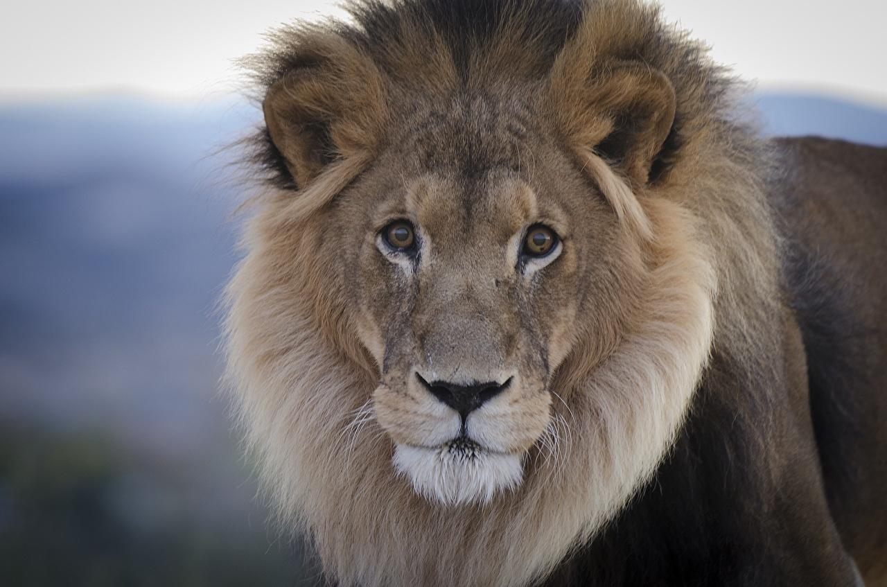 Фотография Львы Большие кошки Морда Взгляд животное лев морды смотрит смотрят Животные