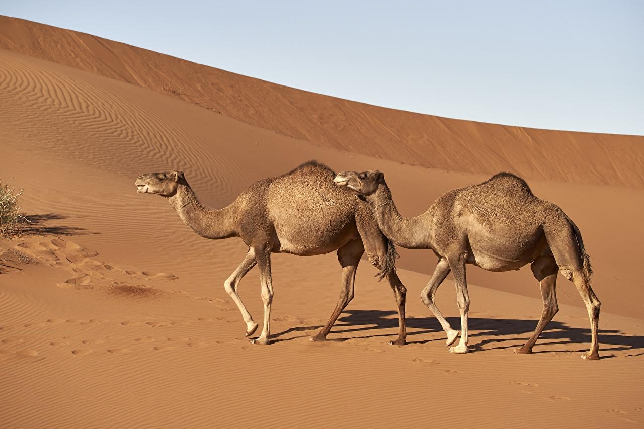 Фотографии верблюд две пустыня Песок Сбоку животное Верблюды 2 два Двое вдвоем Пустыни песка песке Животные